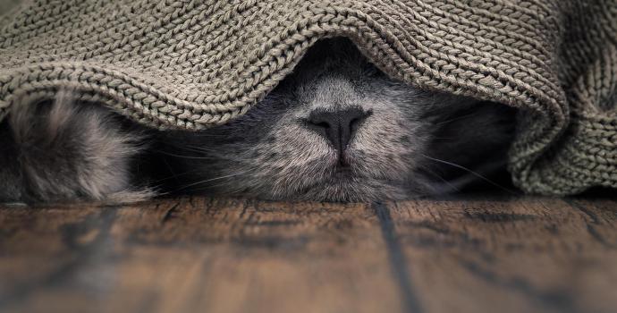 Szary kot z alergią pokarmową śpi pod szarym kocem