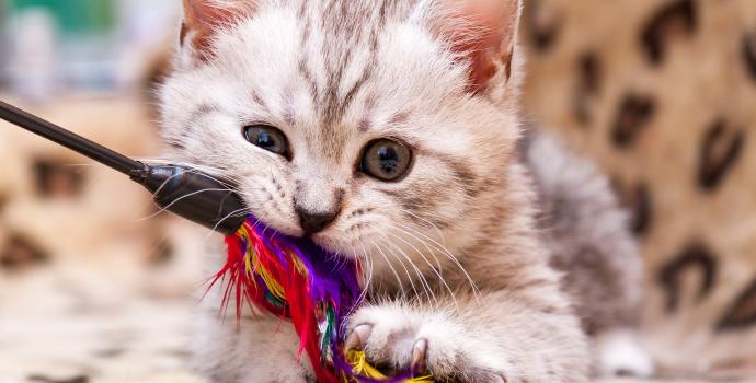 Koda bawiący się wędką dla kota