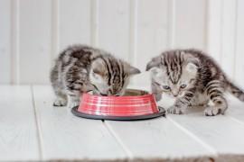 Co powinno znaleźć się w miseczce młodego kota?