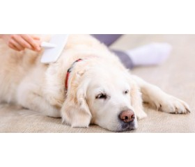 Jak prawidłowo pielęgnować psią sierść? Podpowiadamy!